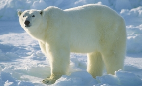 Tips from Scientists to Help Polar Bears | Polar Bears International