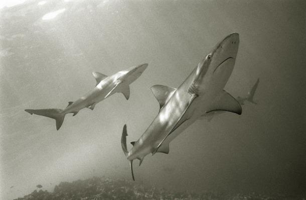 shark-wolf